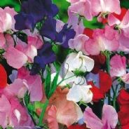 Sweet pea Royal Family Mix - 25 grams - Bulk Discounts available